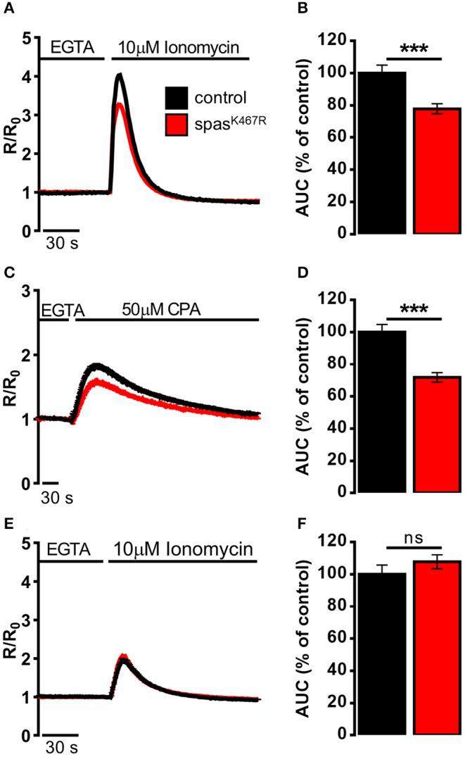 Ca 2+ dynamics induced by (A,B) ionomycin, (C,D) CPA, (E,F) ionomycin after CPA-induced ER depletion in neurons dissociated from larval brains expressing spastin K467R , and relative controls, detected by fura-2. (A,C,E) Cells were stimulated with (A,E) 10 μM ionomycin or (C) 50 μM CPA in the presence of extracellular Ca 2+ chelator EGTA. In all panels, average traces are represented as R/R 0 values of n > 100 cells. (B,D,F) Histograms report the average area under curve (AUC) values of the traces recorded. Data are presented as mean ± SEM of n > 100 cells. *** p