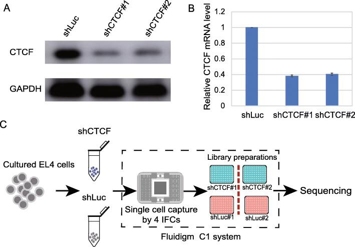 Knockdown of <t>CTCF</t> and schema of single cell sequencing. a . Western blot analysis of CTCF in luciferase control (shLuc) and CTCF-KD cells (shCTCF#1 and shCTCF#2). EL4 cells were infected with retroviral particles encoding GFP and an shRNA targeting CTCF or a control sequence for 5 days. b . Real-time quantitative PCR (RT-qPCR) analysis of CTCF expression in luciferase control (shLuc) and knockdown (shCTCF#1 and shCTCF#2) cells. The expression level of CTCF was normalized to <t>GAPDH.</t> c . Schema of single cell RNA sequencing using Fluidigm C1 system