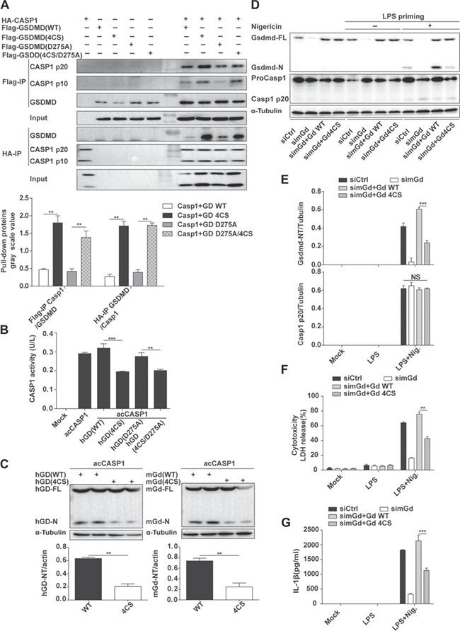The 4CS mutant of GSDMD blocks the protease activity of CASP1. ( A ) Co-immunoprecipitation analysis of the interaction of acCASP1 and GSDMD (WT, 4CS, D275A, and 4CS/D275A). ( B ) Exogenous CASP1 activity was analyzed following co-transfection with GSDMD (WT, 4CS, D275A, and 4CS/D275A). ( C ) Immunoblot analysis of the cleavage of human GSDMD and mouse Gsdmd (WT and 4CS) by active CASP1. ( D–G ) Overexpression of exogenous Gsdmd (WT and 4CS) in J774A.1 cells for 24 h that endogenous Gsdmd expression was downregulated by siRNA for 5 days. Then, Gsdmd cleavage and caspase-1 activation ( D and E ), cell death ( F ), and IL-1β release ( G ) were measured 1 h after Nlrp3 inflammasome activation. WT, wild-type; hGD, human GSDMD; mGd, mouse Gsdmd; simGd, mouse Gsdmd siRNA interference. Data represent the average of three measurements. Mean ± SD of three experiments is shown. * P