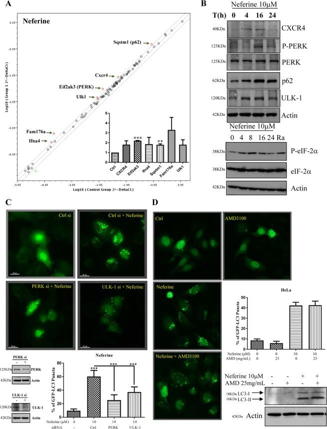 Gene regulation of neferine-mediated autophagy induction. ( A ) RT 2 profiler autophagy PCR array analysis of neferine. HeLa cells were with treated with 10 μM of neferine for 24 h. The total RNA was extracted and reverse-transcripted as cDNA. Real-time PCR reactions were performed using the RT2 SYBR® Green qPCR Mastermix and data analysis was determined using the Qiagen's integrated web-based software package for the PCR Array System. Scatter plot highlighted the up-regulation and down-regulation of genes in response to neferine treatment. Inner panel: quantification of PCR array analysis. ( B ) Neferine-mediated genes regulation was confirmed by western blotting. Upper panel, HeLa cells were treated with neferine (10 μM) for the indicated time. Cell lysates were analyzed with antibodies against CXCR4, P-PERK, PERK, p62, ULK-1 and actin respectively. Lower panel, HeLa cells were treated with neferine (10 μM) for the indicated time and rapamycin (300 nM) for 24 h. Cell lysates were analyzed with antibodies against P-eIF-2α, eIF-2α and actin respectively. The quantification graphs and full-length blots/gels are presented in Supplementary Figs. S2 and S10 ( A ), respectively. ( C ) Activation of PERK and ULK-1 is required for neferine-induced autophagy. HeLa cells were transfected with control si RNA, PERK or ULK-1 si RNA together with EGFP-LC3 plasmid for 48 h, cells were treated with neferine (10 μM) for 4 h and then fixed for fluorescence imaging and cells counting. Western blot images indicate the gene knock down efficiency. Bar chart represents the quantitation of autophagic cells. The full-length blots/gels are presented in Supplementary Fig. S10 ( B ). ( D ) Effect of CXCR4 in Nef-induced autophagy. EGFP-LC3 transfected HeLa cells were treated with 10 μM neferine in the presence or absence of CXCR4 specific inhibitor, AMD 3100 (25 mg/mL) for 4 h. The cells were then fixed for fluorescence imaging and cells counting. Bar chart represents the quantitation of auto