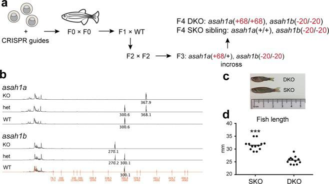 A zebrafish model of Farber disease. ( a ) Schematic of asah1a/b −/− zebrafish generation and propagation. ( b ) DNA fragment analysis demonstrating presence of altered alleles. The 30-bp difference in the asah1b spectra (rather than the noted 20-bp deletion) is due to presence of different polymorphisms across the introns of the WT and KO alleles (Fig. S2b , see Fig. S3 for sequencing of full cDNA). ( c ) asah1a/b −/− (DKO) and asah1b −/− (SKO) zebrafish at 3.5 months. ( d ) Length of DKO and SKO zebrafish at 3.5–4 months. Zebrafish length measurements: Student t-test, SEM, combined data from n = 13 SKO and n = 12 DKO fish, fish within each data set (n = 4–5 SKO, n = 4 DKO) are age-matched. ***p