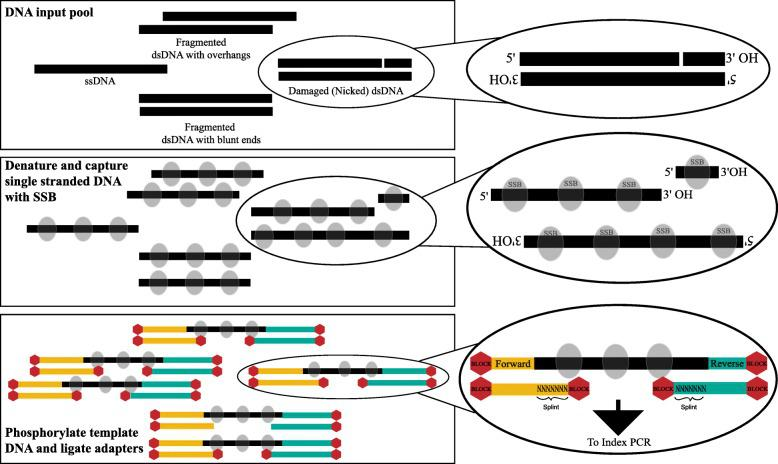 Schematic overview of SRSLY. A DNA input pool of diverse template molecules is denatured with heat and maintained as single-stranded molecules through a cold-snap and use of a thermostable single-stranded DNA binding protein (SSB). Template DNA is phosphorylated and SRSLY splint adapters are ligated in a combined phosphorylation/ligation reaction. Adapters contain a random single-stranded splint overhang and ligation blocking modifications on all termini except for the ones that facilitate correctly oriented library molecules. After clean up, molecules are ready for index PCR