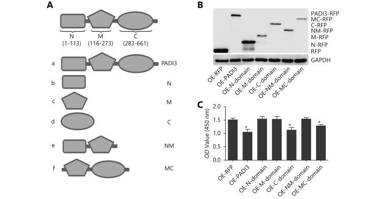 Functional analysis of different PADI3 domains. (A) Predicting the PADI3-domain structure using SMART. (B) Western blot analysis was used to detect the expression of different PADI3 domains in HCT116 cells. (C) CCK-8 assay was used to measure the cell proliferation activity of different PADI3 domains. * indicates P