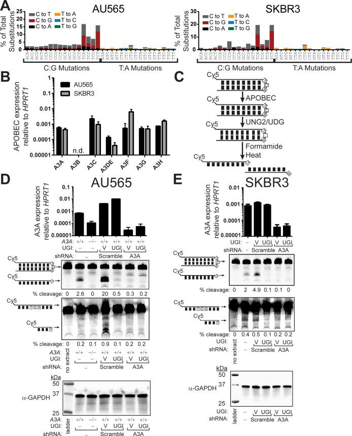 """APOBEC3A is the predominant cytidine deaminase in BRCA cell lines lacking APOBEC3B. (A) The mutation profile of AU565 and SKBR3 BRCA cell lines. (B) mRNA expression level of individual APOBEC3 family members relative to HPRT1 expression in AU565 (black) and SKBR3 (grey). Bars indicate the mean values of 3 replicate measurements. Error bars indicate the standard error of the mean (SEM) of these measurements. n.d. indicates """"not detected."""" Similar results were obtained using TBP instead of HPRT1 as the internal reference gene ( S2 Table ). (C) Schematic of in vitro cytidine deaminase assay. (D) AU565, AU565 cells containing a CRISPR-Cas9 mediated disruption of APOBEC3A (-/-), and (E) SKBR3 BRCA cell lines either un-transduced or expressing scramble control, A3A shRNA, or A3B shRNA were tested for cytidine deaminase activity on a hairpin or linear substrate containing a YTCA APOBEC target motif. Each cell line was additionally transduced to express a vector control or uracil glycosylase inhibitor (UGI) as indicated. 40 μg of total protein was incubated with 0.25 μM of hairpin substrate for 24 hrs at 37°C, prior to heating the samples at 95°C for 10 min and separating substrate from cleavage product on a denaturing polyacrylamide gel. Knockdown specificity was confirmed by qRT-PCR and equal protein amount in each reaction was confirmed via α-GAPDH western."""