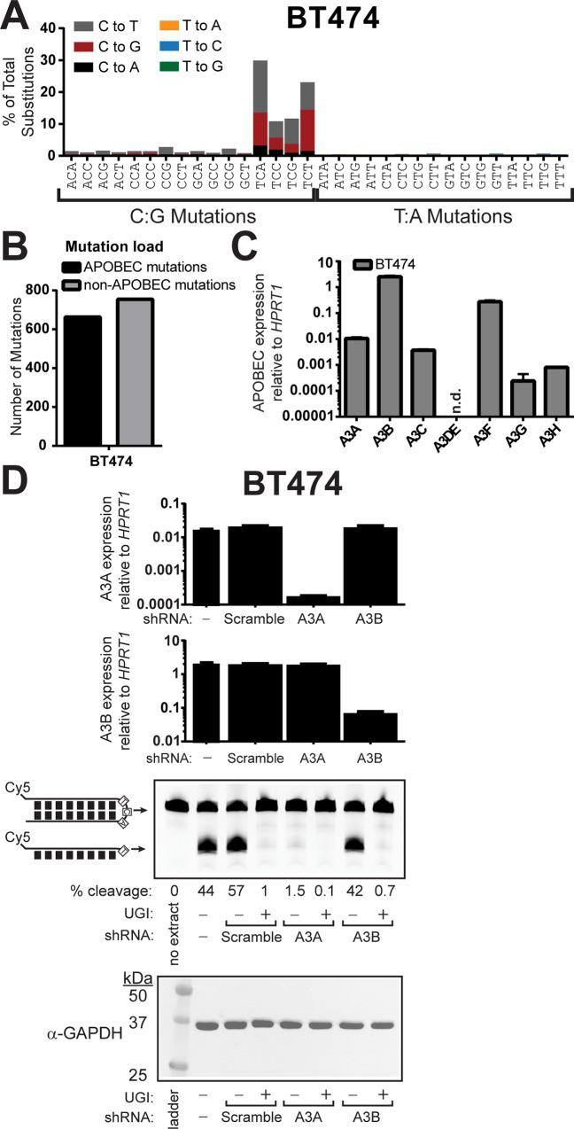 """APOBEC3A is the predominant cytidine deaminase in BT474 cells expressing APOBEC3B. (A) The mutation profile of BT474 cells. (B) The number of APOBEC-induced (black bars) and non-APOBEC-induced (grey bars) mutations in BT474 cells. (C) mRNA expression levels of individual APOBEC3 family members relative to HPRT1 expression in BT474 as measured by qRT-PCR. Bars indicate the mean values of 3 replicate measurements. Error bars indicate the standard error of the mean of these measurements. n.d. indicates """"not detected."""" (D) In vitro cytidine deaminase assay (conducted similarly to Fig 1D and 1E ) of whole-cell extracts generated BT474 cells or BT474 cells transduced with lentiviral vectors to express scramble control, A3A-targeting, or A3B targeting shRNAs. Deaminase reactions were supplemented with either 2 units UGI (NEB #M0281S) or an equal volume of 50% glycerol. Specificity of each shRNA was confirmed by qRT-PCR, and equal protein amounts used in deaminase assays were verified by α-GAPDH western."""
