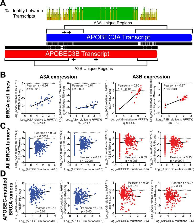 APOBEC3A expression correlates with the abundance of APOBEC-induced mutations in primary BRCA tumors, despite the similarity between APOBEC3A and APOBEC3B transcripts. (A) The pairwise alignment of the A3A (blue) and A3B (red) transcripts shows a central region of high sequence identity with two unique regions in each transcript. Green, yellow, and red indicate 100%, ≥30%, and