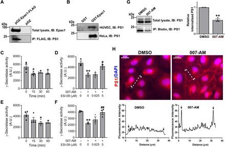 Epac1 interacts with γ-secretase and inhibits its cellular activity. ( A ) Coimmunoprecipitation of Epac1 and γ-secretase. Affinity pulldown of Epac1 using anti-FLAG M2 resin in HeLa cells ectopically expressing Epac1 -FLAG protein or control empty pOZ vector. Total cell lysates were probed by anti-Epac1 antibody, while immunoprecipitation (IP) was probed by an antibody specific for the catalytic subunit of γ-secretase, PS1. IB, immunoblotting. ( B ) Affinity pulldown of HUVEC or HeLa cell lysate by GST-Epac1 or GST control probed by an antibody specific for PS1. ( C and E ) Epac1 activation reduces γ-secretase activity for Notch cleavage. γ-Secretase activity was assayed using recombinant Notch substrate in HUVECs (C) and HeLa-Epac1 cells (E). The enzymatic activity was measured following the treatment of 007-AM (5 μM) at different time points. Data are represented as AlphaLISA signal in arbitrary units (A.U.) in the format of means ± SEM ( n = 4). Statistical analysis was done with one-way analysis of variance (ANOVA) compared to time point 0. * P
