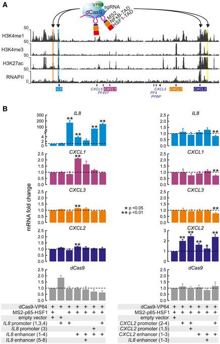 "Heterologous activation of the IL8 enhancer triggers IL8 and CXCL1 expression A CRISPR activation (CRISPRa) strategy was applied to test enhancer functions individually. This approach involves a ""dead"" Cas9 ( blue ) and VP64 ( green ) fusion protein that recruits the NF‐κB ( orange ) and HSF1 ( red ) transactivation domains via MS2 recognition of two stem loops in the sgRNA scaffold ( magenta ). These complexes were targeted to the IL8 or CXCL2 enhancers and promoters (highlights) via different sgRNA pools in HeLa. The position of individual sgRNAs used for CRISPRa is shown in more detail in Fig EV1 . Left bar graphs: Wild‐type HeLa cells were transiently transfected with different combinations of plasmids encoding the ""dead"" Cas9‐VP64 fusion protein, the MS2‐p65‐HSF1 fusion protein, and empty sgRNA vector or versions containing sgRNAs targeting the IL8 enhancer or promoter. Twenty‐four hours post‐transfection, cells were lysed and total RNA was analyzed for expression changes of the indicated genes compared to samples carrying dCas9‐VP64 and MS2‐p65‐HSF1 fusions, but no sgRNAs. Right bar graphs: The same experiments were performed using sgRNAs targeting the CXCL2 enhancer and promoter. Data information: All data are from four independent transfections. Shown are mean values ± SEM. P ‐values are derived from unpaired t ‐tests comparing every condition against cells expressing all transactivators but lacking sgRNAs (first lane in each graph). Only significant differences are marked by asterisks."