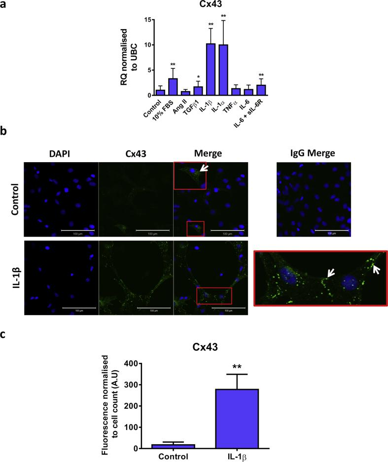 Effect of proinflammatory mediators on Cx43 expression in CFs. (A) Quiesced cells were stimulated with 10% FBS, Ang II (500nM), TGFβ1, IL-1β, IL-1α, TNFα (all 10ng/mL) or IL-6 in the presence or absence of the sIL-6R (both 50 ng/mL) for 24 h. Cells maintained in 0.5% FBS media were used as a control. Data represented as relative quantification (RQ) ± rq max normalised to UBC (n = 3). * P