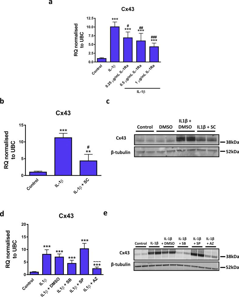 Effect of IL-1β pathway inhibitors on IL-1β mediated up-regulation of Cx43 mRNA expression in CFs. (A–E) Quiesced cells were stimulated with 10 ng/mL IL-1β for 24 h and inhibitors added at (A) the same time or (B and C) 30 min (D and E) to 1 h prior to stimulation. Cells maintained in 0.5% FBS were used as a control and 0.1% DMSO used as a vehicle control where required. (A, B and D) Cx43 mRNA data is represented as relative quantification (RQ) ±rq max normalised to UBC. (C and E) Representative western blot showing Cx43 and β-tubulin control expression in replicate wells. The concentration of inhibitors used were (A) 0.25, 0.5 or 1 μg/mL human recombinant IL-1β receptor antagonist (IL-1Ra) ( n= 3), (B and C) 100 μM SC-514 (SC) ( n= 3), (D and E) 10 μM SB203580 (SB), 20 μM SP600125 (SP) or 10 μM AZD6244 (AZ) for inhibition of <t>p38</t> <t>MAPK,</t> JNK or MEK1/2 respectively ( n= 5 for mRNA and n= 3 for protein). ** P