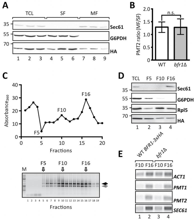BFR1 deletion does not affect PMT1 and PMT2 transcript localization. ( A ) and ( B ): JCY017 (wild type BFR1-3xHA) cells were grown in YPD medium, lysed and total cell extracts were subjected to one step ultracentrifugation. ( A ) Western blot analysis of total cell lysates (TCL), soluble and membrane fractions (SF and MF respectively) upon one step ultracentrifugation. Equivalents to 0.25 OD 600 were resolved on a 12% PAA gel and detection was performed with the indicated antibodies. Sec61 served as a membrane marker and G6PDH as a cytosolic marker. Bfr1-3xHA was detected using the HA-tag. ( B ) <t>RT-PCR</t> analysis of PMT2 mRNA from soluble and membrane fractions upon one step ultracentrifugation. Total RNA was extracted from respective fractions and cDNA was prepared. PMT2 mRNA from each fraction was normalized to ACT1 mRNA. Results show the average membrane to soluble PMT2 mRNA ratio from three independent experiments and error bars represent the confidence interval. For statistical significance one-sample t -test was performed on log2 −ΔΔCt . ( C ), ( D ), and ( E ): JCY017 (wild type BFR1-3xHA) and bfr1 Δ cells were grown in YPD medium, lysed and total cell extracts were subjected to sucrose step gradient centrifugation. ( C ) Absorbance 260 profile of fractions collected upon sucrose step gradient centrifugation (upper panel) and agarose gel electrophoresis of equivalent amounts of each fraction (lower panel). F5, F10, and F16 indicate fractions selected for further analysis. Black and grey arrows next to the agarose gel depict ribosomal subunits 60S and 40S. ( D ) Western blot analysis of total cell lysates (TCL) and selected sucrose gradient fractions from JCY017 (wild type BFR1-3xHA) cells. 0.25 OD 600 units of total cell extract and equivalents of selected fractions were resolved on a 12% PAA gel and detection was performed with the indicated antibodies. Sec61 and G6PDH were detected exclusively in fractions F16 and F5 respectively confirming successful fractionation. The ribosomal protein Rpl5 was mainly detected in fractions F10 and F16 that represent cytoplasmic and membrane bound polysomes respectively. The weaker Rpl5 signal detected in fraction F5 probably emanates from free cytosolic ribosomes. ( E ) Semi-quantitative PCR analysis of PMT1 and PMT2 mRNA from sucrose gradient fractions F10 and F16 from JCY017 (wild type BFR1-3xHA) and bfr1 Δ cells. Total RNA was extracted from respective fractions, cDNA was prepared and a 1:20 dilution was used as template in a standard <t>DreamTaq</t> PCR reaction. ACT1 that served as a loading control also shows strong engagement in the ER membrane containing fraction F16 in line with reports that the ER is a general translation hub even for cytosolic proteins [ 53 ]. Results are representative of two independent fractionations. N.s. = not significant.