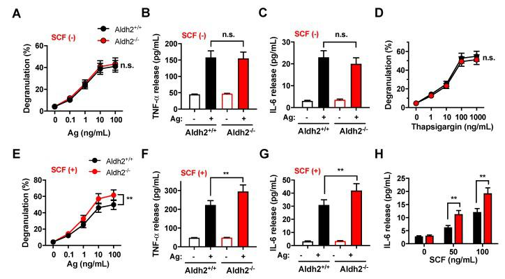 Aldh2 deficiency enhances mast cell responses to FcεRI and Kit co-stimulation, but not to FcεRI alone. ( A – C ) β-Hexosaminidase release (degranulation) ( A ), and release of the cytokines TNFα ( B ) and IL-6 ( C ), into the media in response to FcεRI stimulation. Aldh2 +/+ and Aldh2 −/− BMMCs were sensitized with anti-Dinitrophenyl (DNP) IgE (100 ng/mL) overnight, washed, and then challenged with the indicated concentrations of Ag (DNP-HSA) in ( A ) or with 25 ng/mL of antigen (Ag) in ( B , C ). ( D ) Degranulation induced by the indicated concentrations of thapsigargin in Aldh2 +/+ and Aldh2 −/− BMMCs. ( E – G ) Degranulation ( E ), and the release of TNFα ( F ) and IL-6 ( G ), induced by the co-stimulation of FcεRI and Kit in Aldh2 +/+ and Aldh2 −/− BMMCs. Sensitized BMMCs were challenged with the indicated concentrations of Ag ( E ) or with 25 ng/mL of Ag in ( F , G ) in the presence of 100 ng/mL SCF. ( H ) IL-6 released by Aldh2 +/+ and Aldh2 −/− BMMCs stimulated only with SCF at the indicated concentrations. Degranulation in ( A , D , E ) is expressed as the percentage of β-hexosaminidase released into the media compared to the total cellular content. Data are the mean ± SEM of five independent cultures. ** p