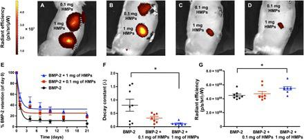 In vivo tracking of BMP-2 released from alginate/PCL tissue-engineered constructs. ( A to D ) Longitudinal IVIS images of subcutaneously implanted constructs containing 2.5 μg of fluorescently labeled BMP-2 loaded onto 0.1 or 1 mg of HMPs at (A) day 0, (B) day 1, (C) day 4, and (D) day 7. ( E ) Quantification of fluorescence within implantation sites and fit to one-phase exponential decay curves ( R 2 = 0.88 for BMP-2, R 2 = 0.78 for BMP-2 + 0.1 mg of HMPs, and R 2 = 0.68 for BMP-2 + 1 mg of HMPs.) ( F ) Decay constants obtained from BMP-2 retention curves (* P