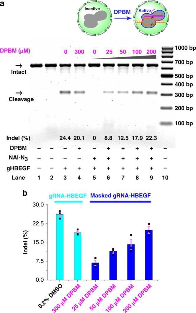 """Gene editing in live cells. The T7E1 nuclease assay was performed 24 h post-transfection using Cas9-expressing HeLa-OC cells transfected with gRNA-HBEGF with different treatments. a Uncleaved HBEGF DNA (621 bp) cut to shorter cleavage fragments (311 bp and 310 bp) were indicated. Lane 1: target control; lane 2: no gRNA-HBEGF control; lane 3: original gRNA-HBEGF; lane 4: original gRNA-HBEGF, 300 μM DPBM; lanes 5–9: masked gRNA-HBEGF (200 mM, 1 h), different concentrations of DPBM; lane 10: DNA markers. The """"Lanes and Bands"""" tool in Image Lab software version 5.1 (Bio-Rad) was used for image acquisition and differential densitometric analysis of the associated bands from the gels. Although long exposure times were necessary to visualize faint bands, the calculations of indel formation were not influenced by the extent of exposure. b The Cyan color represents the original gRNA-HBEGF group, while the Blue color represents the masked gRNA-HBEGF group. Error bars: ±SEM. Source data are provided as a Source Data file."""