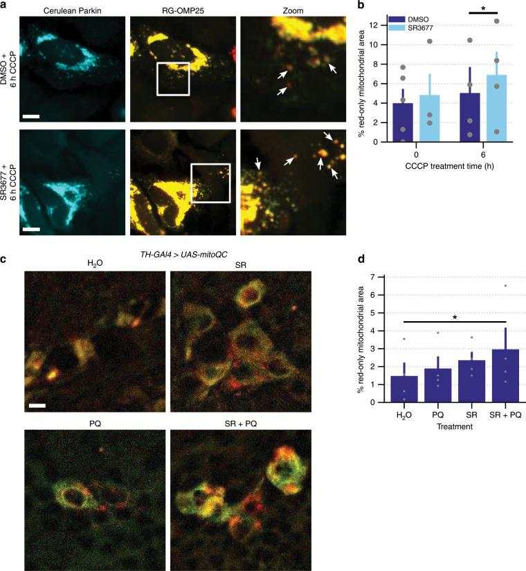 Targeting of mitochondria to lysosomes is increased by SR3677. a HeLa cells were co-transfected with Cerulean-Parkin and RG-OMP25. After 24 h, cells were pre-treated with either 0.5 µM SR3677 or DMSO for 2 h prior to induction of mitophagy with 10 µM CCCP treatment, in combination with E-64 and leupeptin. Red-only signal represents mitochondria localized to lysosomes, where GFP signal is quenched. Scale bars, 10 µm. b Quantification of the percentage of red-only mitochondrial area divided by the total non-background area ( n = 4 independent experiments). P -values were determined by one-tailed paired Student's t -test. c Seven-day-old TH-GAL4 > UAS-mitoQC male flies were placed into vials containing the indicated treatments. Representative images of the dopaminergic neurons of TH-GAL4 > UAS-mitoQC flies following feeding on fly food supplemented with H 2 O, 0.5 mM SR3677 (SR) or H 2 O/SR3677 combined with 5 mM paraquat (PQ). Scale bars, 10 µm. d Quantification of the percentage of red-only mitochondrial area divided by the total non-background area, averaged across 0.8-µm z-stacks. Data are expressed as mean ± s.e.m ( n = 4 independent experiments). P -values were determined by one-tailed paired Student's t -test, * P