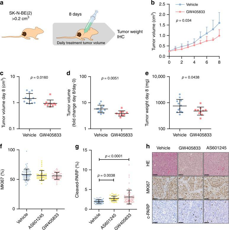 GW405833 reduces neuroblastoma growth in vivo. a Mice were engrafted with \documentclass[12pt]{minimal} \usepackage{amsmath} \usepackage{wasysym} \usepackage{amsfonts} \usepackage{amssymb} \usepackage{amsbsy} \usepackage{mathrsfs} \usepackage{upgreek} \setlength{\oddsidemargin}{-69pt} \begin{document}$$15 \ \times 1{0}^{6}$$\end{document} 15 × 1 0 6 SK-N-BE(2) cells s.c. and randomized to receive a daily i.p. injection of GW (45 mg/kg; n = 10) or vehicle ( n = 12) for 8 days, starting at the appearance of palpable tumours of \documentclass[12pt]{minimal} \usepackage{amsmath} \usepackage{wasysym} \usepackage{amsfonts} \usepackage{amssymb} \usepackage{amsbsy} \usepackage{mathrsfs} \usepackage{upgreek} \setlength{\oddsidemargin}{-69pt} \begin{document}$${ > }0.2\,{\mathrm{cm}}^{3}$$\end{document} > 0.2 cm 3 . b GW405833 significantly impaired the growth of established human tumours (hierarchical linear model). c Point comparison of day 8 tumour volume. d Tumour volume increase from day 0 to day 8. e Post-mortem tumour weight after 8 days of treatment. f Cell proliferation marker MKI67, counted using ImmunoRatio plugin for ImageJ from 10 to 15 representative fields per specimen (DMSO, GW405833, n = 5; AS601245, n = 4). g Apoptosis marker cleaved PARP, counted in using ImmunoRatio plugin for ImageJ from 10 to 15 representative fields per specimen (DMSO, GW405833, n = 5; AS601245, n = 3). h Representative images of tumour histology (HE), MKI67 and c-PARP localization, bar = 100 μm. Statistics: b Mean, 95% confidence interval, p -value computed from a mixed effects model and corrected for multiple testing using bonferroni correction. c – g Mean, standard deviation, Student's t -test.