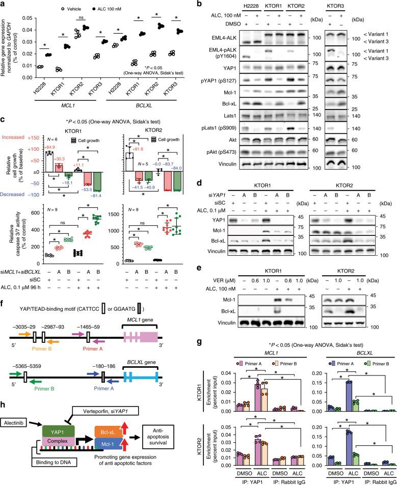 Increases in Mcl-1 and Bcl-xL expression were mediated by YAP1. a Relative gene expression of MCL1 and BCLXL detected by qRT-PCR in 4 ALK-rearranged lung cancer cell lines ( n = 4 independent experiments). Significance was evaluated using a one-way ANOVA followed by Sidak's test. b Evaluation of Mcl-1 expression, Bcl-xL expression, and YAP phosphorylation (pS127). Cell lysates were blotted using an immunoblotting assay with the indicated antibody. c Initial survival rate (top) and apoptosis activity (bottom) of KTOR1 (left) and KTOR2 (right) when cells were exposed to <t>ALC</t> or vehicle in combination with the knockdown of MCL1 and BCLXL . Summarized results are shown in the panels. The number of independent experiments is shown in each panel. Complete results are presented in Supplementary Fig. 6c, d . Significance was evaluated using a one-way ANOVA followed by Sidak's test. d – e Increases in Mcl-1 and Bcl-xL expression were canceled by the inhibition of YAP1. YAP1 activity was inhibited using siRNA ( d ) or verteporfin ( e ). Traced experiments using H2228 are shown in Supplementary Fig. 6f, g . f Sequence analysis of putative YAP1/TEAD binding sites (labeled as A, B) in the upstream regions of MCL1 and BCLXL . The ChIP-PCR primer pairs designed were shown as arrows. g ChIP-qPCR on KTOR1 and KTOR2, which confirmed the presence of YAP1/TEAD binding sites in the MCL1 and BCLXL upstream regions and increased binding induced by the ALC treatment. BCLXL , a known YAP target, was also used as a positive control. Results are expressed as Percent Input (Two biologically independent cells, two-independent primers, two-independent experiment in each cell lines and two-independent qRT-PCR quantification in each experiment). The titration of DNA digestion, electrophoresis of input samples, and specificity of ChIP-qRT-PCR primers were shown in Supplementary Fig. 8 . Significance was evaluated using a one-way ANOVA followed by Sidak's multiple comparison test. h Schematic 
