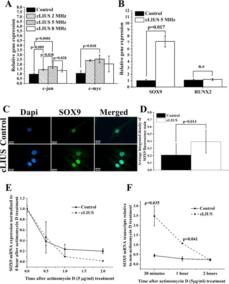 Effect of cLIUS on select genes, SOX9 localization, and SOX9 mRNA stability. Gene expression of a c-MYC and c-JUN and b SOX9 and RUNX2 in MSCs exposed to cLIUS at indicated frequencies were estimated by qRT-PCR ( n = 3). MSCs plated at 1 × 10 5 cells/well were exposed to cLIUS (14 kPa) at frequencies: 5 MHz (2.5 Vpp), 2 MHz (6 Vpp), or 8 MHz (9.5 Vpp) at constant pressure amplitude of 14 kPa one time for 5 min. Non-cLIUS-stimulated MSCs served as controls ( n = 3). Data are shown as the mean ± standard deviation (Welch's t -test). c MSCs in coverslips ( n = 3) at an initial seeding density of 1 × 10 5 cells/well were stimulated with cLIUS application at 14 kPa (5 MHz, 2.5 Vpp) for 5 min and fixed in 4% PFA. Confocal micrographs (× 60 magnification) of immunofluorescent staining of SOX9 (green) shows the localization of SOX9 in the MSCs under cLIUS (Scale bar = 20 μm). Nucleus was stained by Dapi (blue) and d quantified by ImageJ ( n = 10–20). Data are shown as the mean ± standard deviation. e MSCs (2 × 10 4 cells per well) were treated with 5 μg/ml actinomycin D, followed by stimulation with cLIUS at 14 kPa (5 MHz, 2.5 Vpp), for 15 min ( n = 3). Total RNA was collected after 0 min, 30 min, 1 h, and 2 h of <t>actinomycin</t> D treatment, and the fold change in mRNA transcripts of SOX9 were quantified by qRT-PCR. In a parallel experiment without actinomycin D treatment, total RNA was collected at indicated time points following cLIUS stimulation, and the fold change in SOX9 mRNA transcripts was quantified by qRT-PCR ( n = 3). Non-cLIUS-stimulated samples served as controls at respective time points ( n = 3). Data represent the average ± standard deviation of fold change in SOX9 mRNA levels normalized to time point 0. f Graphical representation of the amount of SOX9 mRNA transcripts in actinomycin D-treated MSCs with or without cLIUS stimulation normalized to non-actinomycin D-treated samples at respective time points