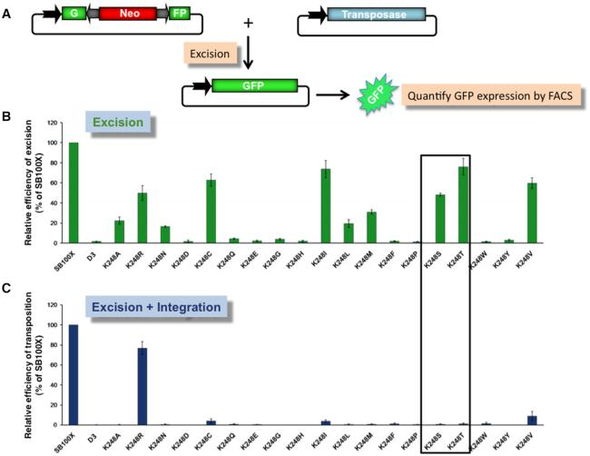 Excision and integration activities of Sleeping Beauty <t>transposase</t> mutants. ( A ) Transposon excision assay. A genetically tagged SB transposon disrupts the <t>GFP</t> coding sequence maintained on a plasmid. Cells transfected with this construct do not express GFP. In the presence of SB transposase excision occurs, and in a fraction of the products the GFP coding sequence is restored, thereby leading to green fluorescence that can be quantified. ( B ) Relative excision efficiencies. Plasmids expressing transposase mutants were transiently cotransfected with a transposon-donor plasmid (pCMV(CAT)-GFP//T2Neo) into HeLa cells. The frequency of excision is indicated by GFP fluorescence intensity, determined by FACS analysis and normalized to SB100X. An inactive SB transposase (D3) was included as negative control. Data are represented as mean ± SD, n = 3 biological replicates. Differences in excision activities are significant as determined by Student's t-test for K248T P = 0.018, for all other mutants P