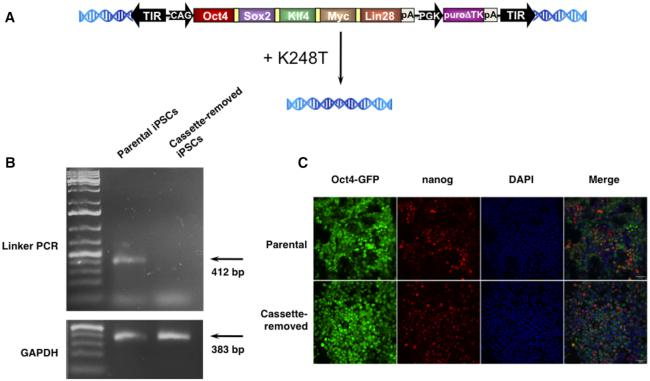 Reprogramming cassette removal with K248T in mouse induced pluripotent stem cells. ( A ) Transient transgenesis with an SB vector conta ining reprogramming genes and their removal with transient expression of the K248T SB transposase. Schematic representation of the SB transposon-based reprogramming vector pT2-CAG.OSKML-puΔtk ( 26 ). Individual genes in five-factor cassettes were linked by 2A self-cleaving peptide sequence and expressed from the CAG promoter. Black arrows represent SB transposon TIRs; pA, bovine growth hormone polyadenylation signal; puΔtk, PGK promoter-driven puΔtk expression cassette. The OSKML factors plus selection genes were removed from a single-copy mouse iPSC clone with the help of the SB100X transposase mutant K248T. ( B ) Linker-mediated PCR genotyping of a mouse iPSC clone before and after cassette removal. The lack of a PCR product in lane 2 of the agarose gel indicates that the reprogramming cassette was successfully removed with K248T (top gel). The quality of the genomic DNAs was verified by control PCR using GAPDH primers (bottom gel). ( C ) Phenotyping of a reprogramming factor-free mouse iPSC clone. Reprogramming factor-free mouse iPSCs express the endogenous nanog pluripotency marker (immunostaining) and GFP from the endogenous Oct4 promoter. Scale bar: 50 μm.