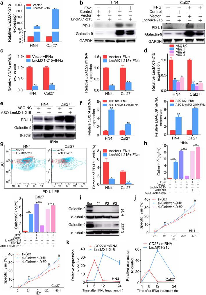 LncMX1–215 negatively regulates IFNα-induced PD-L1 and galectin-9 expression. a lncMX1–215 expression was detected in HN4 and Cal27 cells via PCR after transfection with expression plasmids for 24 h. b, c The protein and mRNA of PD-L1 and galectin-9 expression levels were detected after transfection with lncMX1–215 for 24 h followed by 200 ng/ml IFNα stimulation for 24 h. d The lncMX1–215 knockdown efficiency after transfection with ASO for 24 h was analyzed. e, f After ASO transfection for 24 h followed by 200 ng/ml IFNα stimulation for 24 h, PD-L1 and galectin-9 expression levels were detected using western blotting and qRT-PCR. g Surface PD-L1 expression was examined using flow cytometry after transfection with lncMX1–215 followed by 200 ng/ml IFNα stimulation for 24 h. h The galectin-9 concentration in medium supernatant was measured via ELISA after transfection for 24 h followed by 200 ng/ml IFNα stimulation for 24 h. i Galectin-9 knockdown efficiency was detected via western blotting after transfection with siRNA for 48 h. j Transfected cells were seeded in a 96-well plate and incubated with NK cells for 4 h at various effector/target (E:T) cell ratios as indicated. The specific lysis rate was measured using an LDH kit. k Relative CD274 mRNA and lncMX1–215 expression were detected using qRT-PCR after 200 ng/ml IFNα stimulation for indicated time. *: P
