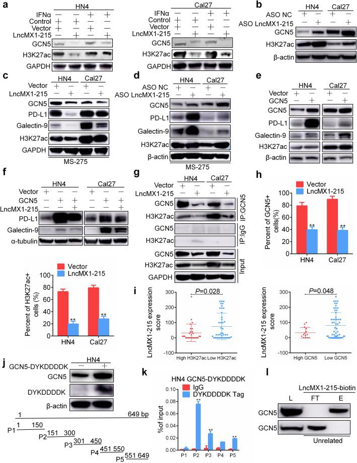 LncMX1–215 directly interacts with GCN5. a GCN5 and H3K27ac were detected after transfection with lncMX1–215 for 24 h and treatment with 200 ng/ml IFNα for 24 h. b GCN5 and H3K27ac were detected after transfection with ASO for 48 h. c, d GCN5, PD-L1, galectin-9 and H3K27ac were examined after transfection with lncMX1–215 or ASO for 24 h followed by treatment with 5 μM MS-275 for 24 h. e GCN5, PD-L1, galectin-9 and H3K27ac were detected after ectopic expression of GCN5 for 48 h in HN4 and Cal27 cells. f PD-L1 and galectin-9 were detected after cotransfection with GCN5 and lncMX1–215 for 48 h. g After transfection with lncMX1–215 for 48 h, cell lysates were precipitated with anti-GCN5 or IgG antibody. h GCN5 and H3K27ac expression was analyzed and quantified using immunofluorescence. i The correlation between H3K27ac and GCN5 and lncMX1–215 expression was analyzed in HNSCC tissue microarray. j Overexpression of GCN5-DYKDDDDK fusion plasmid in HN4 cells was verified by western blotting. P1 to P5 were truncations for full length of lncMX1–215 amplified by specific primers. k After transfection of HN4 cells with GCN5-DYKDDDDK fusion plasmid for 48 h, RNA immunoprecipitation was used to detect binding of GCN5 and lncMX1–215. The binding fragments were detected using PCR with primers P1 to P5. l Cell lysates were incubated with biotinylated lncMX1–215 or an unrelated probe, and the eluent and flow-through were analyzed via western blotting with anti-GCN5 antibody. L: lysate load; FT: flow-through; E: eluent. *: P