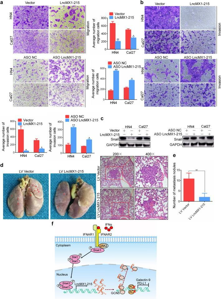 Overexpression of lncMX1–215 suppresses HNSCC metastasis. a, b Migration and invasion assays were performed with transfected cells using <t>Transwell</t> inserts (bar = 100 μm, 20 μm, respectively). c snail was detected in HN4 and Cal27 cells after transfection with lncMX1–215 or ASO for 48 h. d Representative images of lungs from mice in each experimental group. The arrows indicate individual metastatic nodules. Metastatic tumors in lung tissues were identified via hematoxylin and eosin staining. e The number of metastatic nodules in each group was analyzed. f Schematic diagram showing that IFNα-induced lncMX1–215 can negatively regulate PD-L1 and galectin-9 expression by interrupting GCN5/H3K27ac binding in HNSCC. *: P