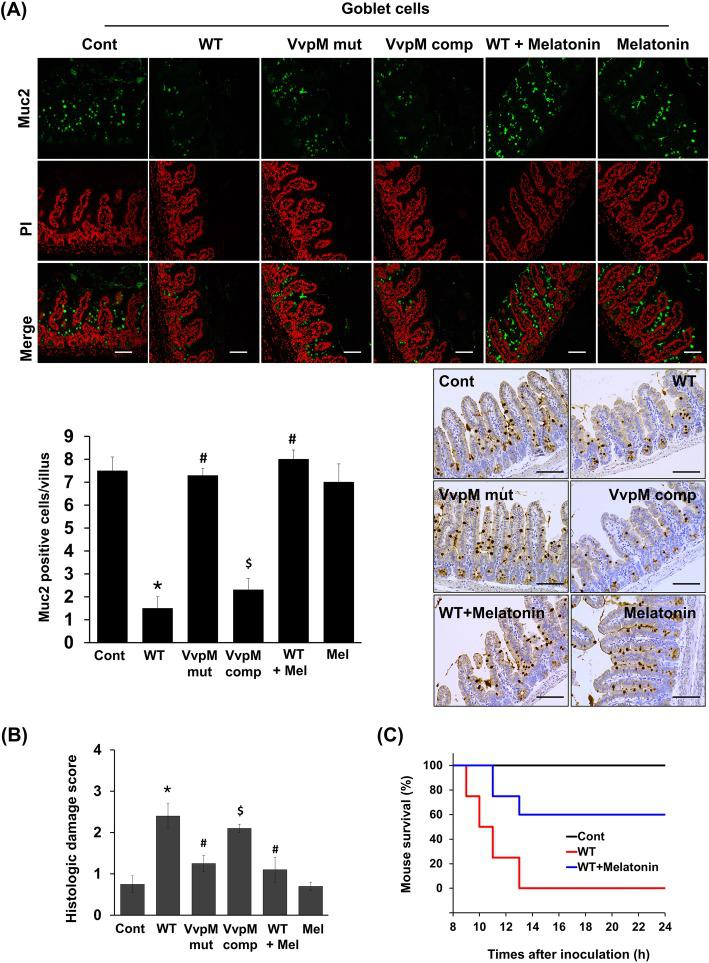 Melatonin restores Muc2 depletion induced by VvpM in mouse ileum infected with V.vulnificus . Mice inoculated with boiled V. vulnificus (Cont), V. vulnificus (WT), VvpM mutant (mut), and VvpM complement (comp) at 1.3 × 10 9 CFU/mL, and sacrificed 16 h later. Mice were also given oral administration of melatonin (10 mg/kg) for 7 days prior to infection of V. vulnificus (WT). a Expression of Muc2 in mouse ileum was examined by immunofluorescence (Top panel, green) and immunohistochemical analysis (bottom panel, brown). Propidium iodide (PI, red) was used for nuclear counterstaining for immunofluorescence analysis. Scale bars, 100 μm. The mean numbers of Muc2-labeled cells per villi are shown in the bar graph. Data represent means ± S.E. n = 8. *, p