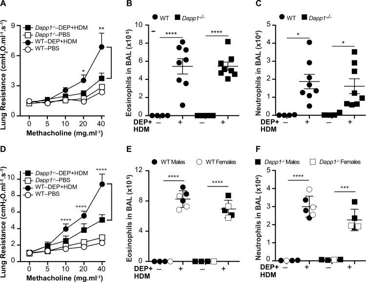 Functional validation of Dapp1 as a DEP-responsive gene. A and D) Lung resistance after inhalation exposure to DEP and HDM is not increased in Dapp1 -/- mice compared to WT animals. DEP/HDM exposure induced eosinophilia (B and E) and neutrophilia (C and F) to the same extent in BAL fluid from Dapp1 -/- and WT mice. Mice were first sensitized on day 0 through a 100μl intraperitoneal injection containing 200μg DEP and 25μg HDM + 2.25mg Alum, as an adjuvant. On days 7–10, mice were placed in insulated chambers daily for 20mins supplied with ambient air and saturated with either aerosolized PBS or both 200μg DEP and 25μg HDM. On day 11, airway hyperreactivity was measured by invasive plethysmography, followed by collection of BAL. Cell counts in BAL fluid were determined by flow cytometry. WT control animals were either female <t>C57BL/6J</t> mice purchased from the Jackson Laboratories ( A-C ) or WT littermates of both sexes generated through an intercross between Dapp1 + /- heterozygote mice ( D-F ). For both experiments, n = 4–8 mice in each group. Data are shown as mean ± SE. **** p