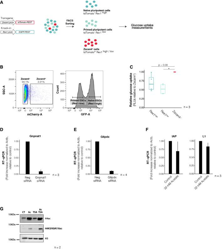 Zscan4 + cells exhibit higher glucose uptake than both naïve and primed ES cells Experimental design. ES cells were cultured in serum/LIF conditions over feeders for at least 5 days in the absence of 2i, and subsequently FACS‐sorted into naïve pluripotent, primed pluripotent or Zscan4 + cells. Glucose uptake rates were measured thereafter. Reporter constructs employed to identify all three distinct populations are represented on the left. An EGFP reporter driven by the Rex1 endogenous promoter was used to distinguish between Rex1‐high (naïve pluripotent) and Rex1‐low (primed pluripotent) cells, and a tdTomato cassette expressed downstream of an ectopic Zscan4c promoter was used to mark Zscan4 + cells. Representative sorting gates used for the isolation of naïve pluripotent, primed pluripotent or Zscan4 + cells. Zscan4 + cells were defined as those positive for Zscan4c::tdTomato reporter (left), irrespective of their Rex1‐EGFP fluorescence level. Naïve pluripotent and primed pluripotent stem cells were gated based on the bimodality of the Rex1‐EGFP distribution (right). Glucose uptake rates in Zscan4 + cells (red), naïve pluripotent stem cells (dark blue) and primed pluripotent stem cells (light blue) were measured using a luciferase‐based assay across three independent biological replicates. Measurements are represented relative to the levels of Zscan4 + cells. Boxes indicate the range between the first and third quartile, the band specifies the median, and the whiskers span the range of the data while extending no further than 1.5 times the interquartile range. Individual dots indicate the measurements obtained in each technical replicate. * P