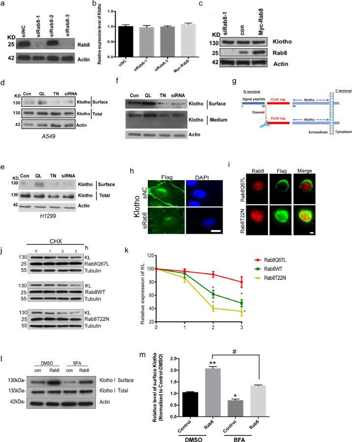 Rab8 regulates surface expression of Klotho. (a) A549 cells were transfected with Rab8 siRNAs, followed by western blotting assays to detect knockdown efficiency of siRNAs. (b) A549 cells were transfected with siRab8or myc-Rab8, and relative mRNA levels of Klotho were detected by <t>realtime</t> <t>PCR.</t> (c) A549 cells were transfected with siRab8or myc-Rab8, and relative protein levels of Klotho were detected by western blotting assay. (d) A549 cells transfected with Rab8 mutants or siRNA, then followed by surface biotinylation assay. Data shown are the mean ± SEM of three separate experiments (* p