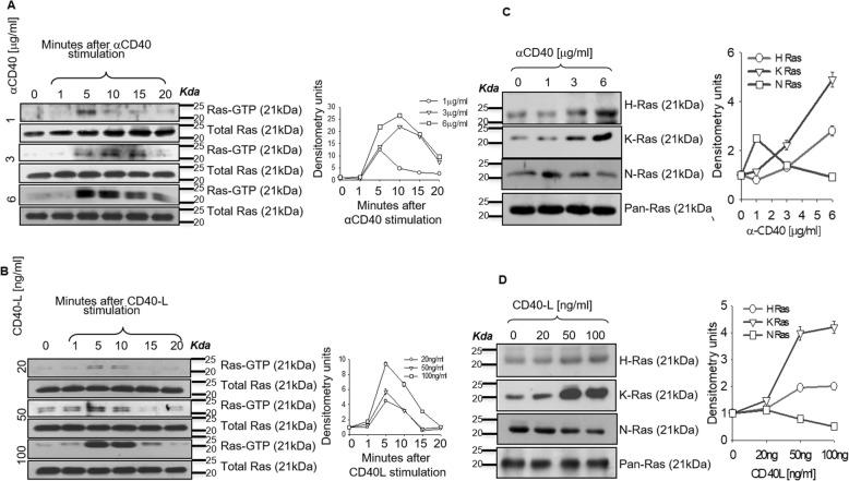 Ras isoforms are differentially activated in CD40 signaling. a , b Immunoblot analysis of activated and total Ras in thioglycolate-elicited BALB/c-derived macrophages stimulated with various concentrations of anti-CD40 for 1, 5, 10, 15 and 20 mins ( a ). b . Immunoblot analysis of activated and total Ras in thioglycolate-elicited BALB/c-derived macrophages stimulated with various concentrations of CD40 ligand for 1, 5, 10, 15 and 20 mins ( b ). Densitometric quantifications of the blots are shown ( c , d ) Immunoblot analysis of activated H, K and N-Ras and total Ras in macrophages untreated or stimulated with 1, 3, 6 μg/ml of anti-CD40 ( c ) or 20, 50, 100 ng of CD40 ligand ( d ) for 7 min. Densitometric quantifications of the blots are shown.