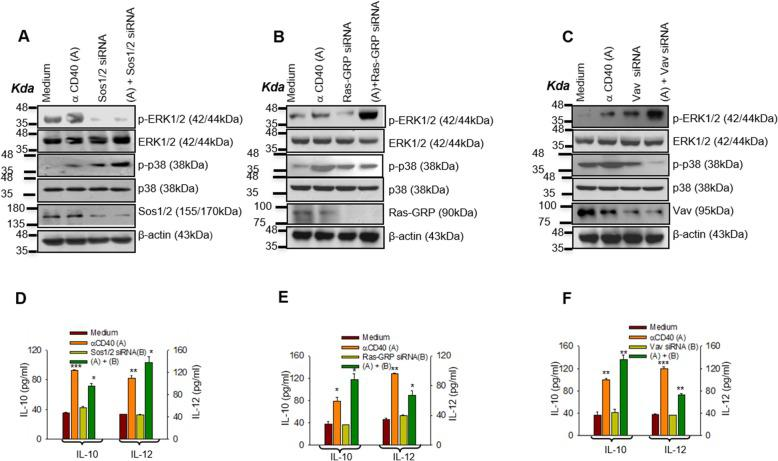 Differential activation of GEFs modulates CD40-induced counteractive effector functions. a - c Immunoblot analyses of total and phosphorylated (p-) p38MAPK and ERK-1/2 in the anti-CD40 antibody (3 μg/ml) stimulated P388D1 cells: un-transfected or transfected with Sos-1/2, Vav and Ras-GRP specific siRNA. siRNA treated P388D1 cells were stimulated with anti-CD40 antibody (3 μg/ml) for 15 min. Suppression of Sos-1/2 ( a ) reduced CD40 (3 μg/ml)-induced ERK-1/2 phosphorylation whereas silencing of Ras-GRP ( b ) and Vav ( c ) using respective siRNA reduced CD40 (3 μg/ml)-induced p38MAPK phosphorylation. d - f ELISA of IL-10 and IL-12p70 from the culture supernatants of the P388D1 cells transfected with the indicated GEF siRNA, followed by treatment with anti-CD40 antibody (3 μg/ml) for 48 h. respectively . p ≤ 0.05; ** p ≤ 0.005; *** p ≤ 0.0005 compared with control P388D1 cells.