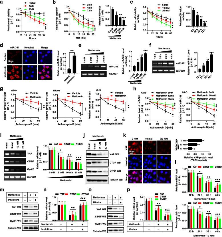 Metformin decreased YAP activity by regulating miR-381. a HBEC, A549 and 95-D cells were treated with 10 mM metformin for indicated times. Cell viability was assessed by CCK8 assay. b , c A549 cells were incubated with metformin at various concentrations for 24, 48, and 72 h ( b ) and indicated times at 5 mM, 10 mM and 20 mM, respectively. Cell viability was assessed by CCK8 assay. d FISH result indicated that Metformin upregulated the RNA level of MiR-381 in the A549 cells. e , f RT-PCR and qPCR results indicated that Metformin dose- and time- dependently increased the RNA level of miR-381. g Decay of miR-381 was monitored in A549, H1299 and 95-D cells cotreated with Actinomycin D and Vehicle or 10 mM Metformin. RNA levels of miR-381 were determined by qPCR. h Decay of miR-381 was monitored in A549 and 95-D cells cotreated with Actinomycin D and indicated concentrations of Metformin. RNA levels of miR-381 were determined by qPCR. i-k RT-PCR, qPCR ( i ), western blot ( j ) and immunofluorescent staining ( k ) assays indicated that Metformin dose-dependently decreased the expression of YAP. l Metformin time-dependently decreased the expression of YAP by the qPCR and western blot assays. m , n A549 cells were treated with Metformin or co-treated with Metformin and miR-381 inhibitors, respectively. The expressions of YAP, CTGF and Cyr61 were analyzed by western blot ( m ) and qPCR ( n ) assays. o , p A549 cells were treated with Metformin or co-treated with Metformin and miR-381 mimics, respectively. The expressions of YAP, CTGF and Cyr61 were analyzed by western blot ( o ) and qPCR ( p ) assays. Results were presented as mean ± SD, and the error bars represent the SD of three independent experiments. *P