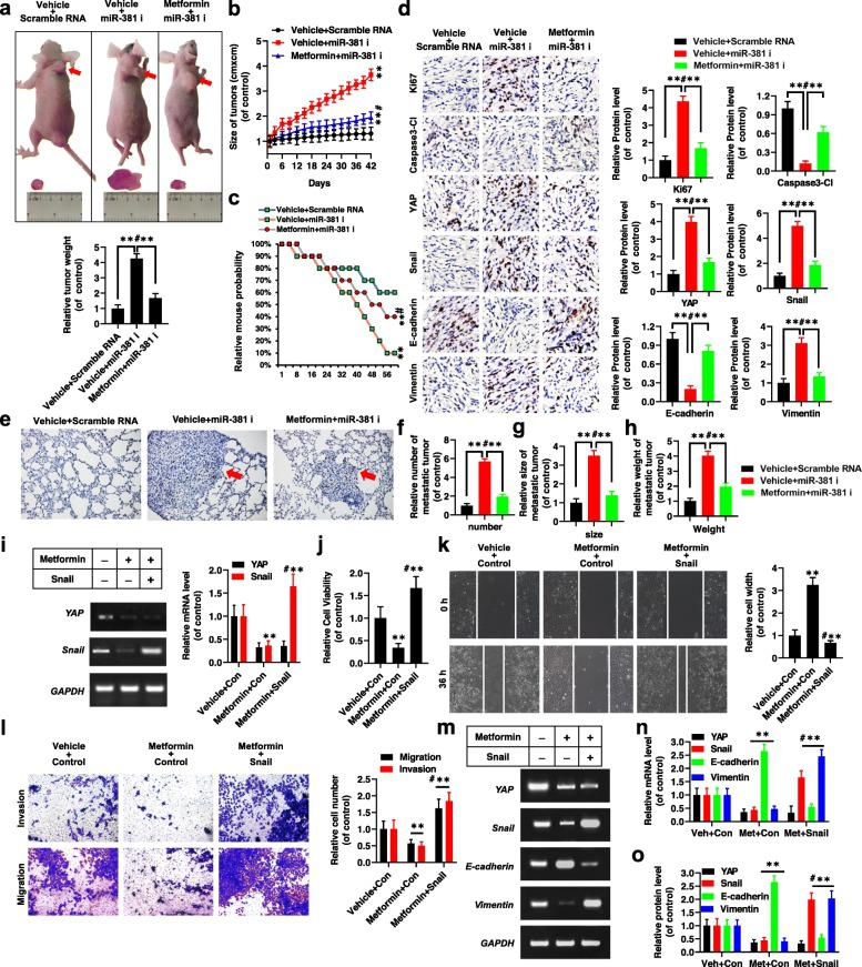 Metformin inhibits xenograft tumor growth and metastasis in vivo and in vitro . a , b Xenografted A549 cell tumors with stably expressing Scramble miRNA and miR-381 inhibitors (miR-381 i) in mice with treatment of vehicle and metformin. The weights ( a ) and sizes ( b ) measured at regular intervals. c Kaplan-Meier overall survival (OS) curves of vehicle- and metformin-treated mice injected A549 cells with stably expressing Scramble miRNA and miR-381 inhibitors. d The expressions of Ki67, Cleaved Caspase3, YAP, Snail, E-cadherin and Vimentin were analyzed by immunohistochemistry assay from tumor tissues injected A549 cells with stably expressing Scramble miRNA and miR-381 inhibitors in mice with treatment of vehicle and metformin ( n = 5). e-h Representative H E stained microscopic images of the metastatic lung tumors originated from xenografted A549 cells with stably expressing Scramble miRNA and miR-381 inhibitors in mice with treatment of vehicle and metformin by subcutaneous injection. i-o 95-D cells were separately treated with metformin or co-treated with metformin and Snail, respectively. i The expressions of YAP and Snail were analyzed by RT-PCR and qPCR. j The cellular viability was analyzed by CCK8. k The cellular migration growth was analyzed by scratch assay. l The cell migration and invasion were analyzed by transwell assay. m-o The expressions of YAP, Snail, E-cadherin and Vimentin were analyzed by RT-PCR ( m ), qPCR ( n ) and western blot ( o ) assays. Results were presented as mean ± SD, and the error bars represent the SD of three independent experiments. ** P