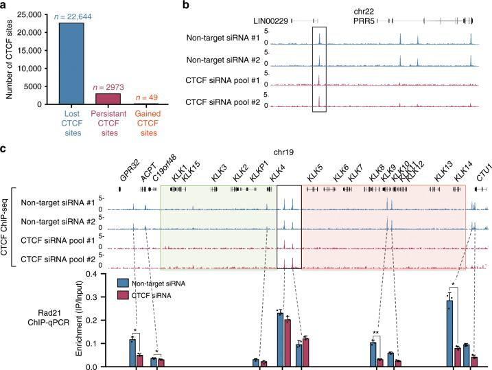 A subset of CTCF binding sites is more resistant to CTCF depletion. a Bar plot quantifying 'lost', 'persistent' and 'gained' CTCF sites in LNCaP cells. b UCSC genome browser screenshot demonstrating maintenance of CTCF binding at some sites (box) following CTCF knockdown. c CTCF ChIP-seq illustrates CTCF binding at the boundary of the active and silenced regions at the KLK locus is retained following 144 h of CTCF RNAi. All other binding in the region is lost. RAD21 ChIP-qPCR performed after 144 h of control and CTCF RNAi demonstrates that cohesin binding is maintained where CTCF binding is persistent at the KLK locus (* indicates where two-tailed t -test, p