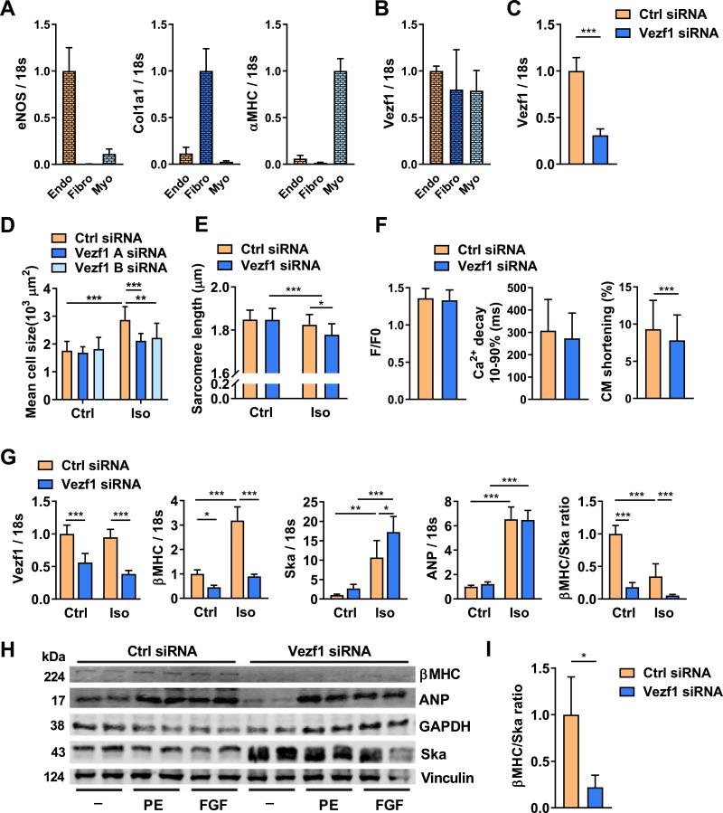 Vezf1 is expressed in adult cardiomyocytes and regulates cardiomyocyte growth and cardiomyopathy related genes. (A) qRT-PCR analysis of the expression of endothelial nitric oxide synthase (eNOS), collagen type I alpha 1 chain (Col1a1), and α myosin heavy chain 6 <t>(α-MHC)</t> mRNAs in pools of fractionated resident mouse cardiac cells. eNOS, Col1a1 and α-MHC were used as markers for endothelial cells (Endo), fibroblasts (Fibro), and cardiomyocytes (Myo), respectively. n = 5. (B) qPCR analysis of Vezf1 mRNA levels in cardiomyocytes and fibroblasts relative to that in the endothelial cells. n = 5. (C) Adult rat ventricular cardiomyocytes were transfected with Vezf1 siRNA (100 nM) or Control siRNA (100 nM) and 3 days later RNA samples were collected. Shown is qRT-PCR analysis for expression of Vezf1. Results are normalized to expression of 18S (18S ribosomal RNA). n = 6. (D and E) Adult rat ventricular cardiomyocytes were transfected with two distinct Vezf1 siRNAs (100 nM) or Control siRNA (100 nM) and 1 day later cells were stimulated with isoprenaline (Iso, 1 µM) for 48 h where indicated. (D) Shown is microscopy analysis for cardiomyocyte size. Ctrl siRNA n = 8, Vezf1 A siRNA n = 9, Vezf1 B siRNA n = 10; Ctrl siRNA + Iso n = 10, Vezf1 A siRNA + Iso n = 15, Vezf1 B siRNA + Iso n = 13. (E) Shown is microscopy analysis for sarcomere length (µm). Ctrl siRNA n = 14, Vezf1 B siRNA n = 18; Ctrl siRNA + Iso n = 22, Vezf1 B siRNA + Iso n = 25. (F) Adult rat ventricular cardiomyocytes were transfected with Vezf1 siRNA (100 nM) or control siRNA and 3 days later Ca 2+ cycling and cardiomyocyte (CM) shortening were analyzed. Ctrl n = 44, Vezf1 siRNA n = 43. (G) Neonatal rat ventricular cardiomyocytes were transfected with Vezf1 siRNA (100 nM) or control siRNA and 2 days later cells were treated with Iso (1 µM) for 24 h. Shown is qRT-PCR analysis for expression of Vezf1, <t>β-MHC</t> (myosin heavy chain beta-subunit), Ska (skeletal alpha actin), ANP (atrial natriuretic peptide) a