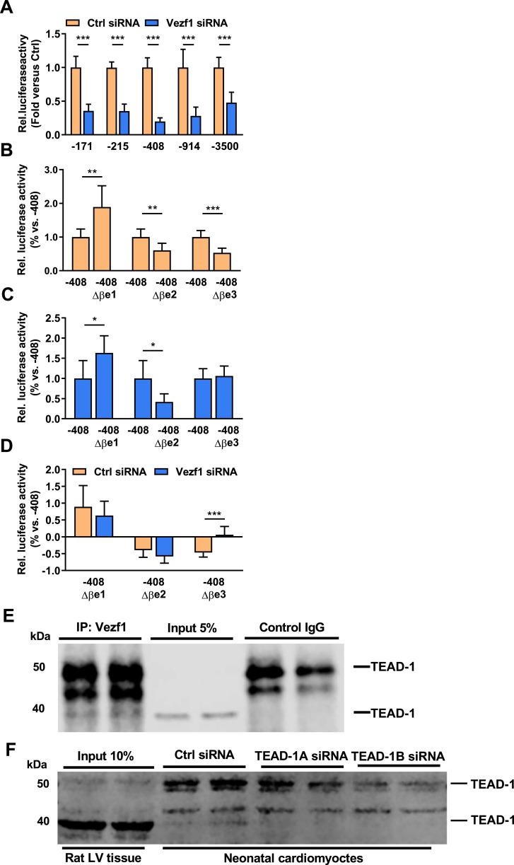Vezf1 targets an MCAT binding site within β-MHC promoter and interacts with TEAD-1. (A) Neonatal rat ventricular cardiomyocytes (NRVMs) were transfected with β-MHC promoter (−171 to −3500 bp) luciferase reporter constructs together with Vezf1 siRNA (100 nM) or control siRNA (100 nM). 3 days later, relative luciferase activities were analyzed. Firefly luciferase activities were normalized to renilla luciferase activity and expressed as relative to the activity of respective β-MHC promoter luciferase construct treated with control siRNA. n = 4. (B–D) NRVMs were transfected with an intact −408 β-MHC promoter construct or with −408 β-MHC promoter construct containing either Δβe1, Δβe2 or Δβe3 mutation together with (B) control siRNA (100 nM) ( n = 6–8) or (C) Vezf1 siRNA (100 nM) ( n = 3–7). 3 days later, relative luciferase activities of the different lengths of β-MHC promoter constructs were analyzed. Firefly luciferase activities were normalized to renilla luciferase and the data are expressed as relative to that of the wild-type −408 β-MHC promoter construct activity. (D) Comparison of relative change in luciferase activity of −408 β-MHC Δβe1, Δβe2 or Δβe3 promoter construct to that of wild-type −408 β-MHC promoter luciferase construct in control siRNA and Vezf1 siRNA treated cells. n = 3–8. (E) Adult rat left ventricular (LV) tissue samples were immunoprecipitated with Vezf1 antibody or control IgG. Shown is immunoblot analysis for Transcription enhancer factor-1 (TEAD-1) in immunoprecipitates and LV lysates. (F) NRVMs were transfected with two distinct TEAD-1 siRNAs (100 nM) or control siRNA (100 nM) and 3 days later protein samples were collected. Shown is immunoblot analysis for TEAD-1 in rat LV lysates and in NRVMs. * P