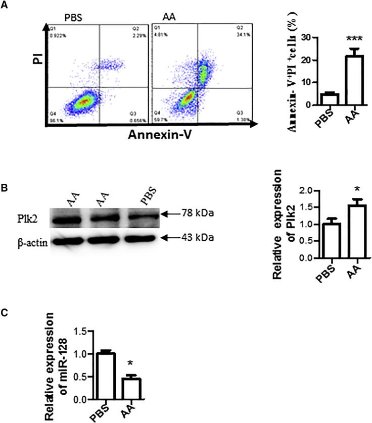 In Vitro I/R Stimulated with AA Induced Cardiac Cell Apoptosis/Death, Increased Plk2 Expression, and Reduced miR-128 (A) Cell apoptosis. H9c2 cells were cultured and treated with 20 μM AA or PBS (as a control) for 3 h, followed by 3-h reperfusion with complete medium. Cells were double stained with FITC-Annexin V and PI, followed by flow cytometry analysis. Left panel: representative images from flow cytometry result; right panel: summarized results of flow cytometry. n = 5; ***p