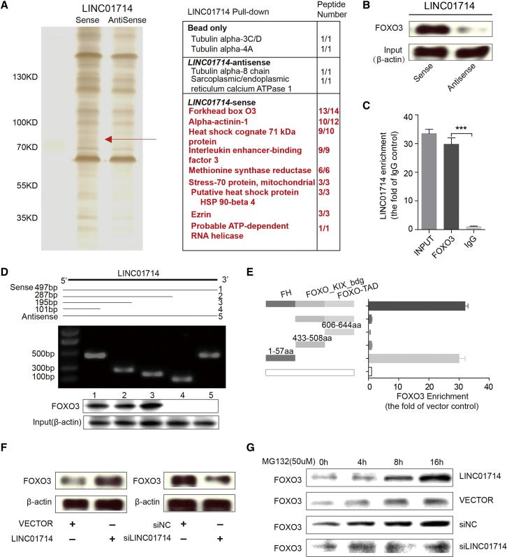 LIHC01714 Physically Interacts with FOXO3 in CCA Cells (A) LINC01714 pull-down assay analyzed by SDS-PAGE. (B) Western blot analysis of the FOXO3 protein retrieved from LINC01714 pull-down assay. (C) The quantitative real-time PCR results of RIP assays using an anti-FOXO3 antibody. (D) Immunoblotting detection of FOXO3 protein in the pull-down samples. The full-length sense and antisense biotinylated-LINC01714 (#1 and #5, respectively) and truncated biotinylated-LINC01714 sequences (#2 includes 1–287 bp, #3 includes 1–195 bp, and #4 includes 1–101 bp) were analyzed. β-actin serves as input control. (E) RIP assays for different domains of FOXO3 protein. Quantitative real-time PCR was used to determine the enrichment of LINC01714 binding with each FOXO3 domain. (F) Western blot analysis of FOXO3 protein level in LINC01714- or si-LIHC01714-transfected cells. (G) The FOXO3 protein levels were measured in LINC01714, si-LINC01714, or control cells. Cells were treated with MG132 (50 μmol/L) for 0, 4, 8, or 16 h before protein harvest. Values are indicated as mean ± SEM in (C) and (E). **p