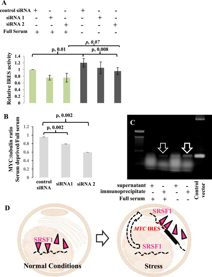"""Cytoplasmic SRSF1 operates as an ITAF for MYC IRES. (A) Luciferase assay of SUM159PT MYC IRES reporter cells. SRSF1 expression was downregulated with siRNAs and cells were grown under full-serum or serum-deprived (for 24 h) conditions as indicated. siRNA mediated downregulation of SRSF1 is associated with a decrease in the MYC IRES activity and leads to smaller increments of the MYC IRES activity under conditions of stress. IRES activity (ratio of Firefly:Renilla luciferase) is normalized to control siRNA full-serum condition (data presented as mean ± standard deviation, n = 5; paired Student's t-test). (B) MYC band intensity in an immunoblot ( Supplemental Figure 9 ) was divided by the respective tubulin band intensity to provide the relative MYC protein levels. The histogram illustrates the ratio of the relative MYC protein levels between serum-deprived (stress) and full-serum conditions (mean ± standard deviation, n = 2; paired Student's t-test). SUM159PT cells in which SRSF1 is downregulated cannot maintain MYC protein expression under conditions of stress. (C) UV CLIP assay of SUM159PT MYC IRES reporter cells for SRSF1 under full-serum and serum-deprived (for 24 h) conditions. SRSF1 directly associates with the MYC 5ʹUTR and this association is more pronounced under serum deprived conditions. Nonimmunoprecipitated supernatant and the vector used for the stable transfection serve as control. (D) Model for the translational activity of SRSF1 in SUM159PT cells: under normal growth conditions, SRSF1 is predominantly intranuclear and operates as a splicing factor leaving its splicing """"fingerprint"""" on the transcriptome. Under conditions of stress, SRSF1 translocates to the cytoplasm where it operates as an IRES trans -acting factor and upregulates the IRES mediated translation of MYC mRNA (and probably of other transcripts)."""