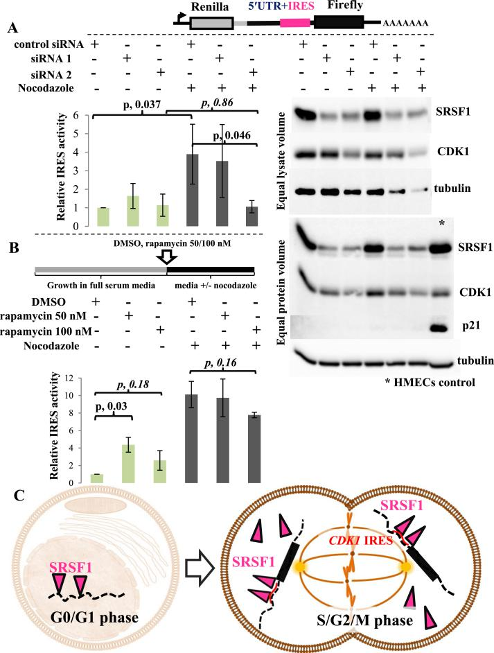 During cell division, cytoplasmic SRSF1 operates as an ITAF for the CDK1 IRES. (A) Luciferase assay (left panel) and immunoblot for SRSF1, CDK1, and p21/CDKN1A (right panel) of T47D CDK1 IRES reporter cells. T47D cells were stably transfected with the CDK1 IRES bicistronic reporter vector (upper panel). Left panel. SRSF1 expression was downregulated with siRNAs and cells were asynchronous or synchronized with nocodozale (16 h) as indicated. siRNA mediated downregulation of SRSF1 was not associated with an apparent effect on the CDK1 IRES activity in an asynchronous T47D cell population. G2/M synchronization with nozodazole captures the cell cycle dependent upregulation of CDK1 IRES mediated translation. This upregulation is blocked by siRNA mediated downregulation of the SRSF1. IRES activity (ratio of Firefly:Renilla luciferase) is normalized to control siRNA-no nocodazole (asynchronous) condition. Data presented as mean ± standard deviation, n = 4; paired Student's t-test. Right panel. CDK1 protein levels change coordinately with SRSF1 especially when cells are synchronized to the G2/M phase. Two replicates of the same experiment are shown. Note the downregulation of tubulin with SRSF1 downregulation in the synchronized cells consistent with the fact that tubulin constitutes the main component of the mitotic spindle. The downregulation of SRSF1 does not impact p21 levels in T47D cells. (B) Luciferase assay of T47D CDK1 IRES reporter cells, asynchronous or synchronized to the G2/M phase with nocodazole and concurrently treated with rapamycin (50 or 100 nM) or DMSO control (upper panel). Lower panel. G2/M synchronization with nozodazole captures the cell cycle dependent upregulation of CDK1 IRES mediated translation. Treatment with rapamycin (an mTOR inhibitor, i.e. inhibitor of cap-dependent translation), does not block this upregulation. Note also the upregulation of CDK1 IRES activity induced by rapamycin in the asynchronous population (data presented as mean ± st