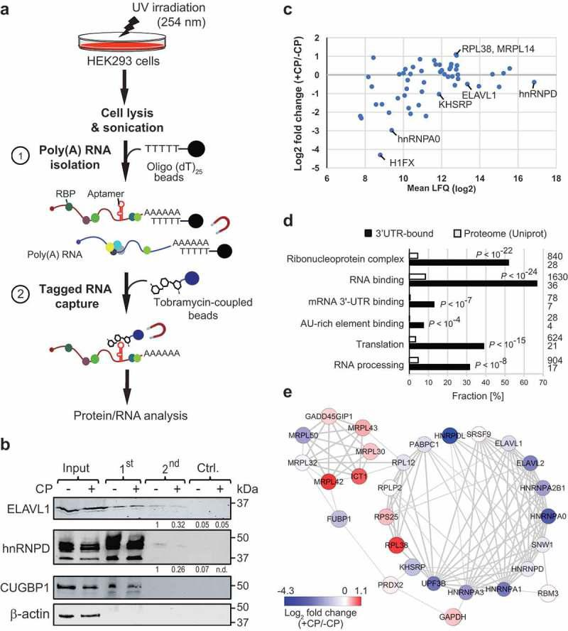 TobTRIP and MS analysis identifies a network of functionally related RBPs bound to p27(3ʹUTR) reporter mRNAs. (a) Schematic representation of tobTRIP for isolation of tagged mRNAs together with bound proteins: In a first step, poly(A) RNA-protein complexes are isolated using oligo(dT) 25 beads. In a second step, tobramycin aptamer-tagged RNAs are captured with tobramycin-coupled magnetic beads. (b) Immunoblot analysis of the indicated proteins across different steps of tobTRIP. 1:600 of the extract (input), and 1:60 of the 1 st and 2 nd step eluates were loaded. A quantification of band intensities across the 2 nd step eluates is indicated for ELAV1 and hnRNPD. (c) Differential binding of the 54 proteins interacting with GFP-T-p27(3ʹUTR) in CP-treated (+CP) versus untreated (-CP) cells. Mean LFQ values are plotted against log 2 -transformed average foldchanges obtained from normalized intensities. (d) GO terms significantly enriched among the 54 selected proteins. Bars indicate the fractions of proteins annotated with the respective GO term, either across proteins pulled-down with the p27(3ʹUTR) reporter (black bars) or across the entire reference proteome (Uniprot; 20,395 proteins; white bars). Absolute numbers of proteins are shown to the right. Adjusted P -values (Benjamini-Hochberg) for enrichments relative to the reference proteome are indicated. (e) PPI network of 28 proteins with multiple and propagating interactions. Each node corresponds to one RBP, and the physical interaction between RBPs is shown as an edge. The thickness of edges is proportional to the STRING confidence score (between 0–1). Node colour corresponds to average log 2 fold-change of RNA binding in treated (+CP) versus untreated (-CP) cells as indicated in the colour bar.