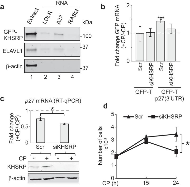 KHSRP affects p27 mRNA abundance via the 3ʹUTR and modulates CP sensitivity of MCF7 cancer cells. (a) Extracts prepared from HEK293 cells expressing GFP-tagged KHSRP (lane 1) were incubated with biotinylated RNAs comprising a fragment containing AREs of the 3ʹUTR of LDRL mRNAs (lane 2), the 3ʹUTR of p27 mRNA (lane 3), and RASM as a negative control (lane 4). RNA was captured with streptavidin beads and monitored for the presence of GFP-KHSRP, ELAVL1 and actin by immunoblot analysis with GFP, ELAVL1, and actin antibodies, respectively. (b) HEK293 cells expressing GFP-T and GFP-T-p27(3ʹUTR) were transiently transfected with siKHSRP or scr (siRNA control) for 48 h and treated with 20 µM CP for the last 15 h. The level of GFP in CP-treated (+CP) versus untreated cells (-CP) was assessed by RT-qPCR normalized to β-actin . (c) MCF7 cells were transiently transfected with siRNAs targeting KHSRP (siKHSRP) and Scr control oligos. P27 mRNA levels of CP-treated (+CP, 24 h) relative to untreated cells (-CP) was assessed by RT-qPCR normalized to β-actin . An immunoblot showing knock-down of KHSRP is depicted below. (d) Cell proliferation of MCF7 cells was determined by Trypan Blue assay at the indicated time points after CP treatment. Error bars represent SEM, n = 3. * P