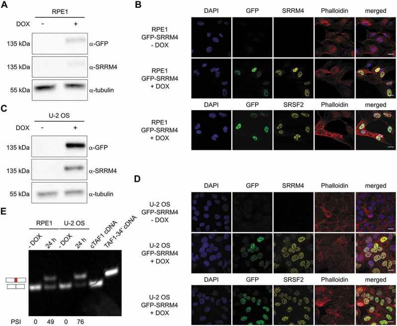 SRRM4 promotes the alternative splicing of TAF1-34ʹ in different non-neuronal cell lines. RPE1 and U-2 OS derivative cell lines express GFP-SRRM4 as validated by immunoblot (A and C) and immunofluorescence (B and D). The expression of the transgene is verified after 24 h DOX induction. GFP-SRRM4 resides in the nucleus where it co-localizes with the nuclear speckle marker SRSF2 (B and D, lower panels). In both RPE1 and U-2 OS, the induction of SRRM4 results in microexon 34ʹ incorporation into TAF1 mRNA. Plasmids containing cTAF1 and TAF1-34ʹ cDNAs were used as controls. The different PSI quantifications are depicted below each lane (E).