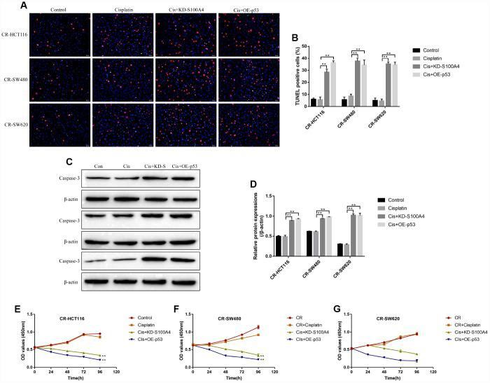 """The effects of S100A4 and p53 on CR-CC cell viability. ( A , B ) TUNEL assay was conducted to detect cell apoptosis ratio in CC cells. ( C , D ) Western Blot was used to determine the expression levels of cleaved Caspase-3 in CR-CC cells. CCK-8 assay was performed to detect the proliferation ability of ( E ) CR-HCT116 cells, ( F ) CR-SW480 cells and ( G ) CR-SW620 cells. (""""Con"""" represented """"Control group"""", """"Cis"""" indicated """"Cisplatin treated group"""", """"Cis+KD-S"""" represented """"Cisplatin plus downregulated S100A4 treated group"""", """"Cis+OE-p53"""" represented """"Cisplatin plus overexpressed p53 treated group""""). All the experiments repeated at least 3 times. """"*"""" means p"""