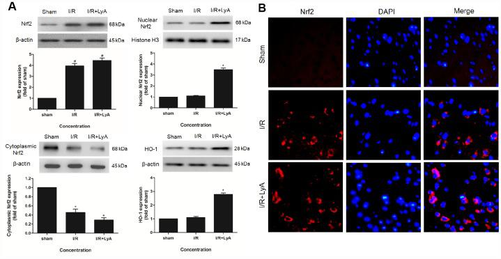 LyA Promoted the Expression of Nrf2 and HO-1. ( A ) Protein expressions of Nuclear Nrf2, Cytoplasmic Nrf2 and HO-1 were evaluated by Western blot analysis. ( B ) The immunofluorescence staining of Nrf2 with DAPI (400 x). Data were presented as mean ± SD (n = 6). * p