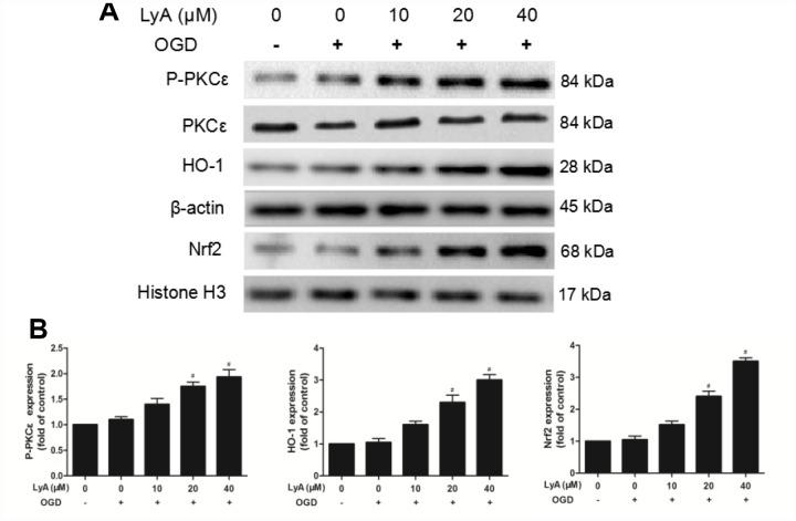 Effect of LyA treatment on PKCε phosphorylation, activation of Nrf2/HO-1 pathway in SH-SY5Y cells. ( A ) Representative bands of each protein are presented. ( B ) Relative expressions are calculated and are shown here. Data were represented as means ± SD (n=6). * p