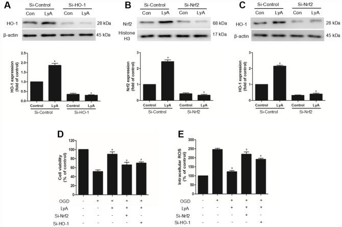 The neuroprotection of LyA involved the Nrf2/HO-1 pathway. ( A – C ) Cells were transfected with control or HO-1 and Nrf2 siRNA for 48 h, followed by treatment with 40 μM LyA for 8 h. HO-1 and Nrf2 expression levels were analyzed by western blotting. Data were presented as mean ± SD (n =6). * p