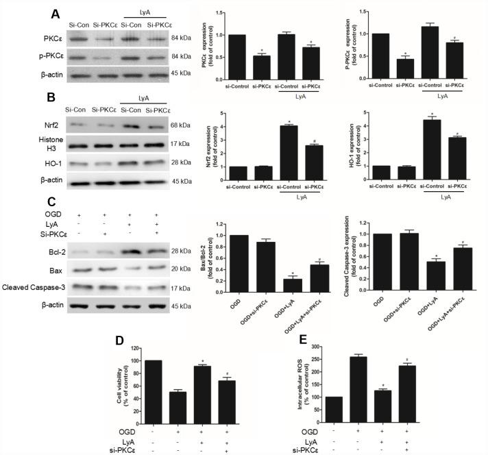 PKCε mediated LyA-induced neuroprotection, Nrf2 nuclear translocation, and HO-1 upregulation. ( A – C ) Cells were transfected with control or PKCε siRNA for 48 h, followed by treatment with 40 μM LyA for 8 h. p-PKCε, PKCε, HO-1, Nrf2, bax, bcl-2 and cleaved caspase-3 expression levels were analyzed by western blotting. Data were presented as mean ± SD (n =6). * p